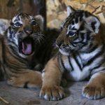 استنبول کے اسلان پارک میں دو بنگالی شیر کے بچوں کی پیدائش