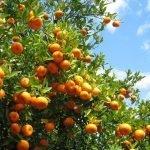 ترکی: پھلوں کی برآمدات میں نارنجی کو خاص مقام حاصل