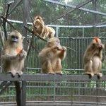 بندر جنگلوں کے بجائے چڑیا گھروں میں زیادہ خوش رہتے ہیں، نئی تحقیق
