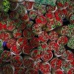 ترکی نے پھولوں کی تجارت سے 11 کروڑ ڈالر کما لئے